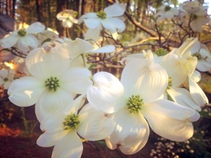 Dogwood this morning, welcoming me back to NC