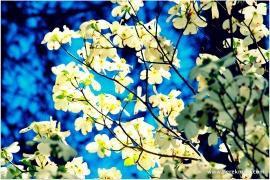 dogwood blooms...