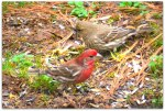 """this one is getting votes for """"House-finch"""""""