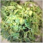 thyme from our garden
