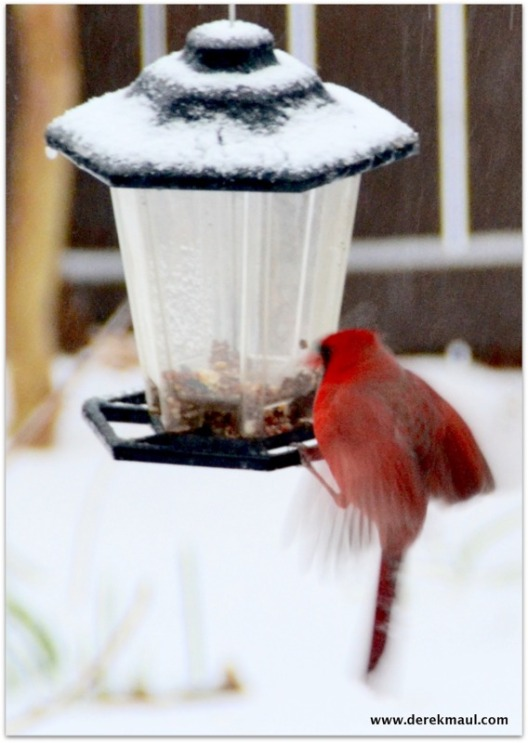 Cardinal trying to hover