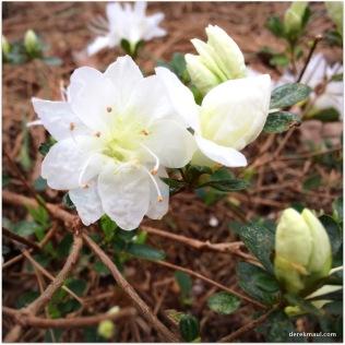 beginning of the azaleas
