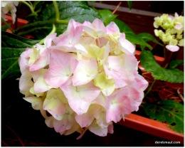 rose-tinted hydrangea