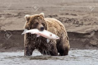 23457033-a-coastal-brown-bear-holds-a-freshly-caught-salmon-in-its-mouth-at-lake-clark-np-alaska-stock-photo