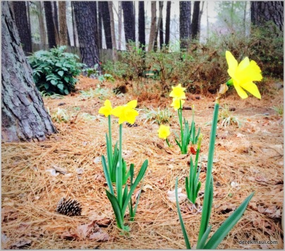 daffodils welcoming the North Carolina spring