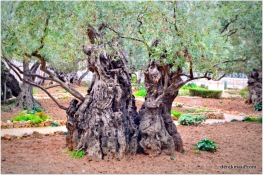 Gethsemane - 2,000 year old trees