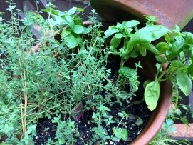 English thyme and basil