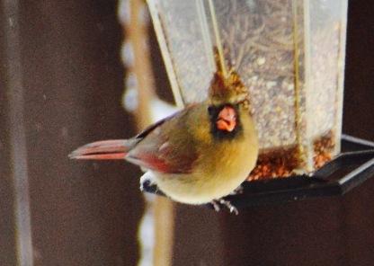 mama Cardinal