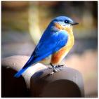 Eastern Bluebird - Maul-Hall