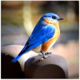 Eastern Bluebird - Maul-Hall