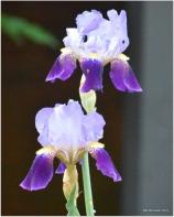 other iris
