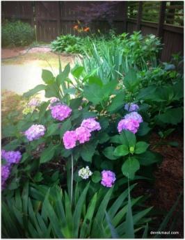 our hydrangea