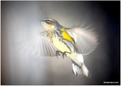 pretty sure this is a yellow finch