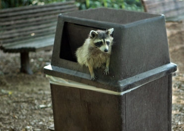 Raccoon_getting_in_trouble