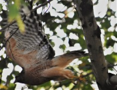 fly-by of Mr. Hawk!