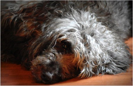 we love you, Scout Labradoodle :-(