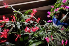"""""""Christmas cactus"""" blooming on time"""