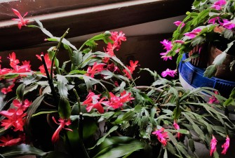 """Christmas cactus"" blooming on time"