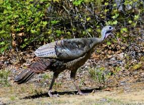#8 - turkey