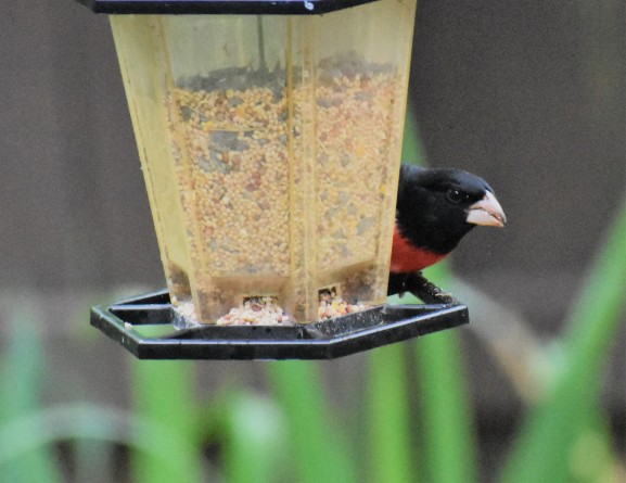 Hello. Mr. Grosbeak!