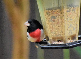 Rose-breasted grosbeak about to take off....