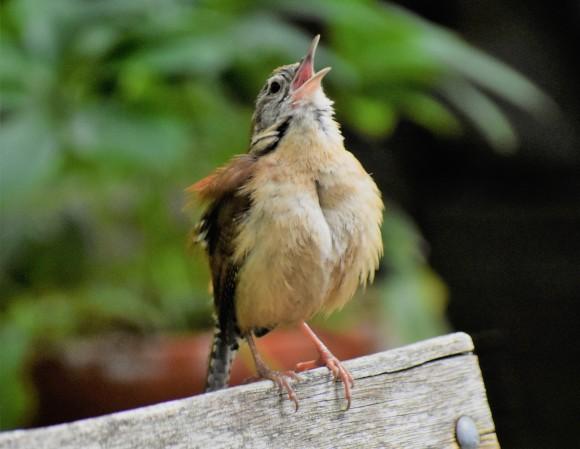 Young Carolina wren -