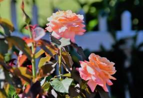 WFPC rose garden